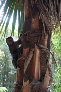 Monkey - Capuchin?